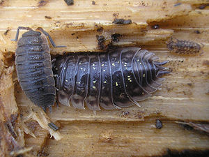 Porcellio scaber and Oniscus asellus - Zalné20070205.jpg