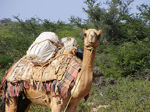 A leashed pack camel
