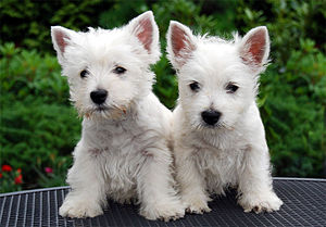 Two white terrier puppies stand next to each other. They appear less furry than the adults of their breed, and the pinkness inside the ears is evident.