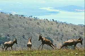Photograph depicting four Topis on a hillside in Akagera, with another hill and a lake visible in the background