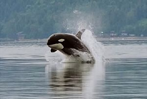 A killer whale bursts forward out of the water. Its head is just starting to point downward, and is about a body width above the surface.