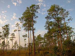 A color image of a pine rockland ecosystem showing mostly short palmettos and the tall thin trunks of South Florida slash pines