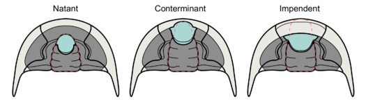 Trilobite hypostome types based on attachment (labeled).png