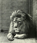 Sultan the Barbary Lion.jpg