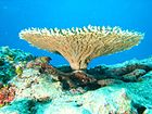 Table coral at French Frigate Shoals, Northwestern Hawaiian Islands