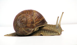 snail in shell facing right