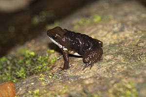 Common rocket frog