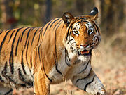 Tiger  sighted in Nagzira Wildlife Sanctuary