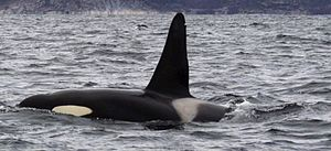 Back and dorsal fin of killer whale projecting above the sea surface, including the grey saddle patch and part of the white eye patch: The dorsal fin rises steeply to a rounded point.