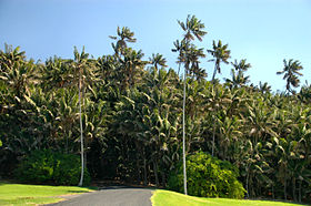 Endemic Howea forsteriana Palms- Neds Beach,Lord Howe Island.jpg