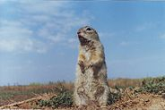 speckled ground squirrel